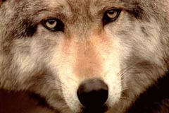 Close-up of  timberwolf